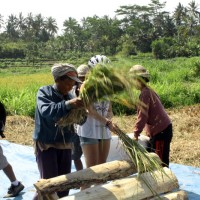 Joining Balinese farmers at works photo #4