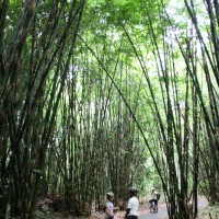 inside bamboo forest