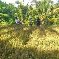 rice field trekking photo #25