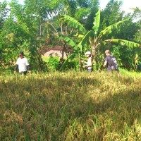 rice field trekking photo #26
