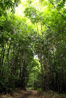 bamboo forest on coffee tour