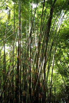 largest bamboo forest in Bali