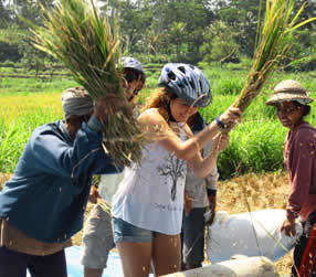 joining balinese farmer harvesting the rice