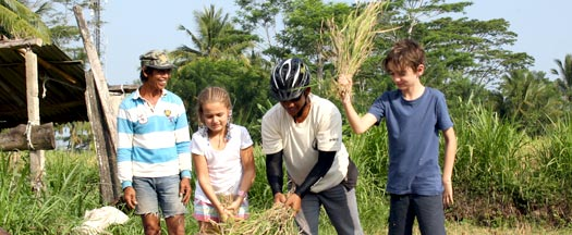 rice paddies harvesting with kid